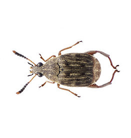 Angell Pets Bean Weevil Culture
