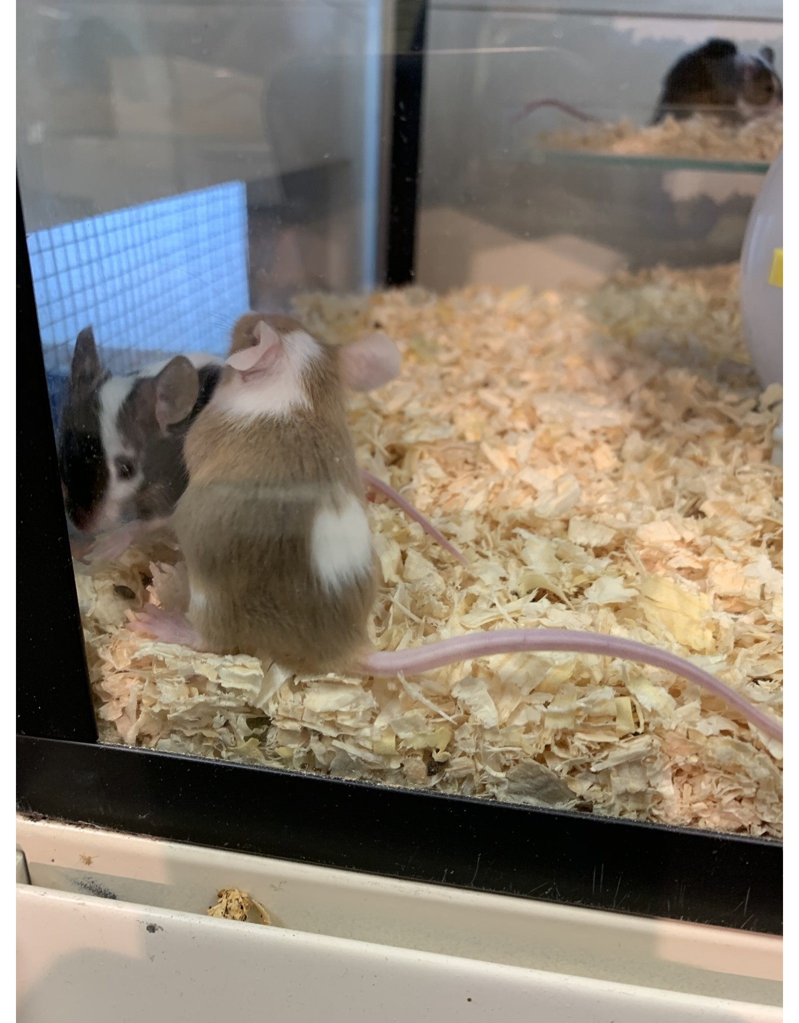 Angell Pets Fancy Mouse Female