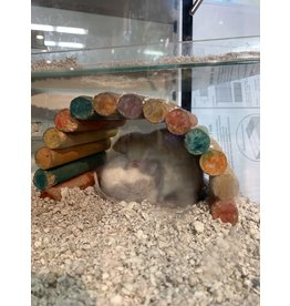Angell Pets Dumbo Rats Male