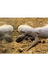 Angell Pets Kotschys Gecko