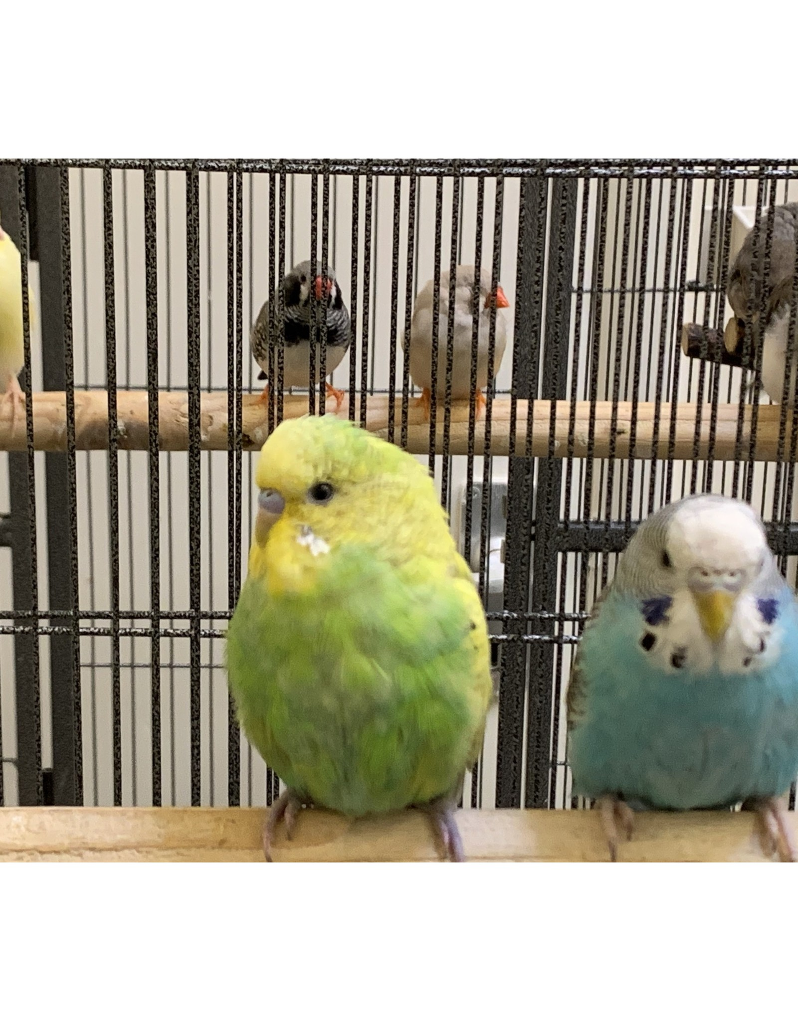Angell Pets Budgie Normal
