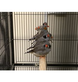 Angell Pets Zebra Finch Pair