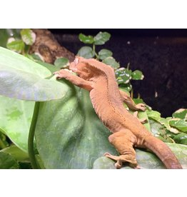 Angell Pets Crested Gecko