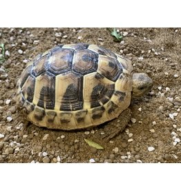 Angell Pets Tortoise - Hermanns
