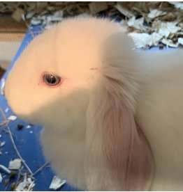 Angell Pets Mini Lop Rabbit Female (RHD2 vaccinated)