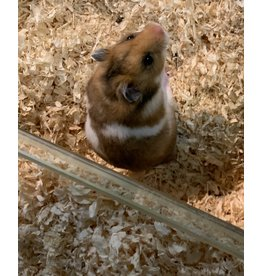 Angell Pets Syrian Hamster - Male