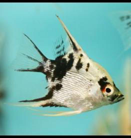 Angell Pets Assorted Angel Fish