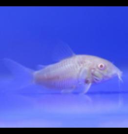 Angell Pets Albino Corydora
