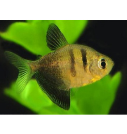 Angell Pets Black Widow  Tetra