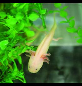 Angell Pets Axolotl Albino