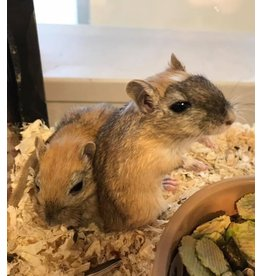 Angell Pets Gerbil - Male