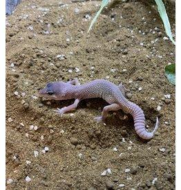 Angell Pets Leopard Gecko - Blizzard
