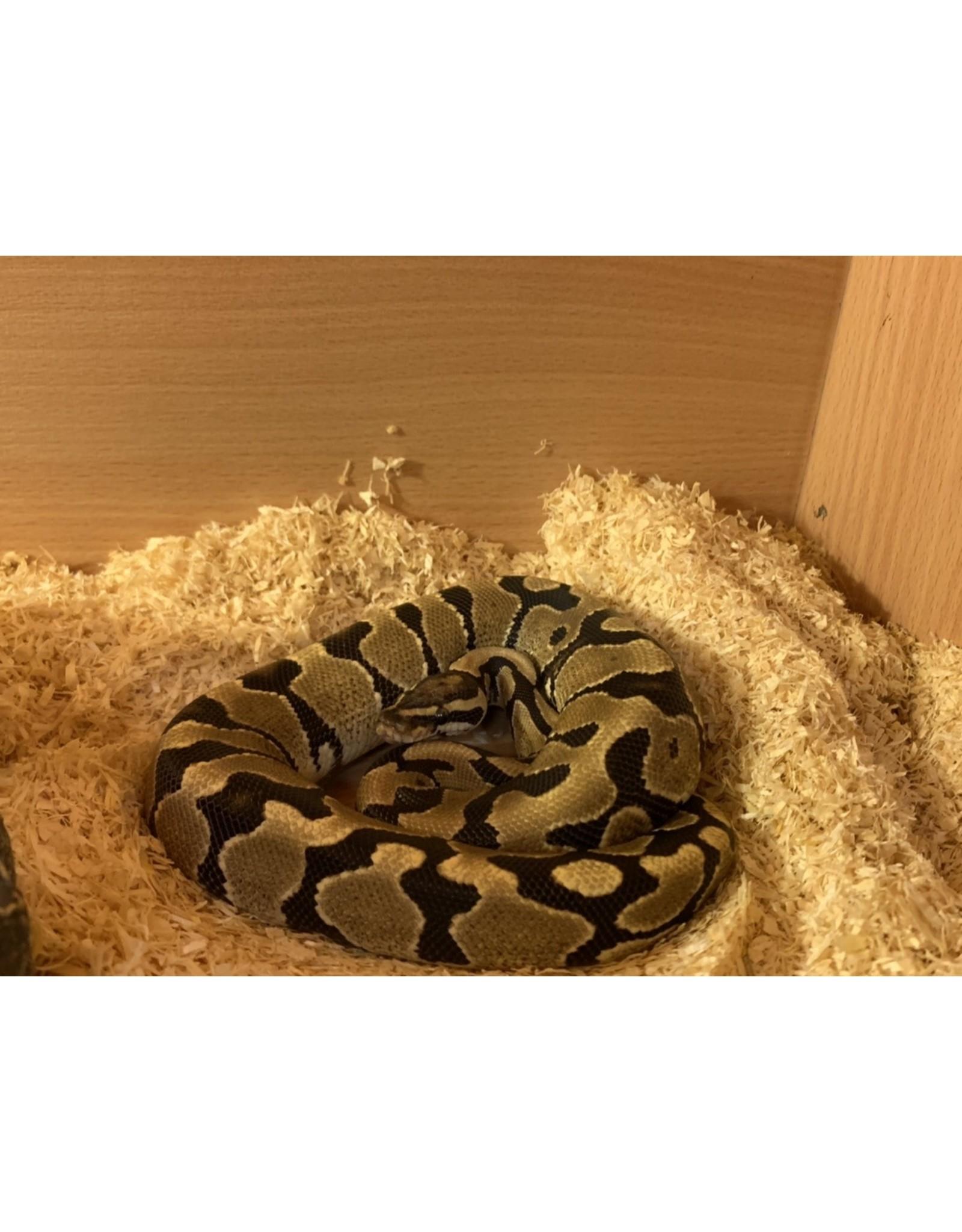 Angell Pets Royal Python - Spark Male