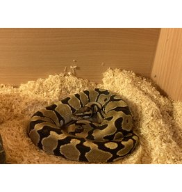 Angell Pets Royal Python - Spark Male