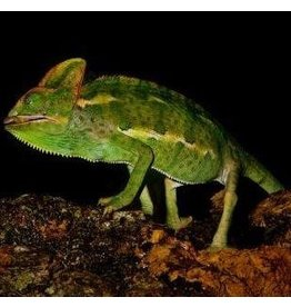 Angell Pets Yemen Chameleon - Male