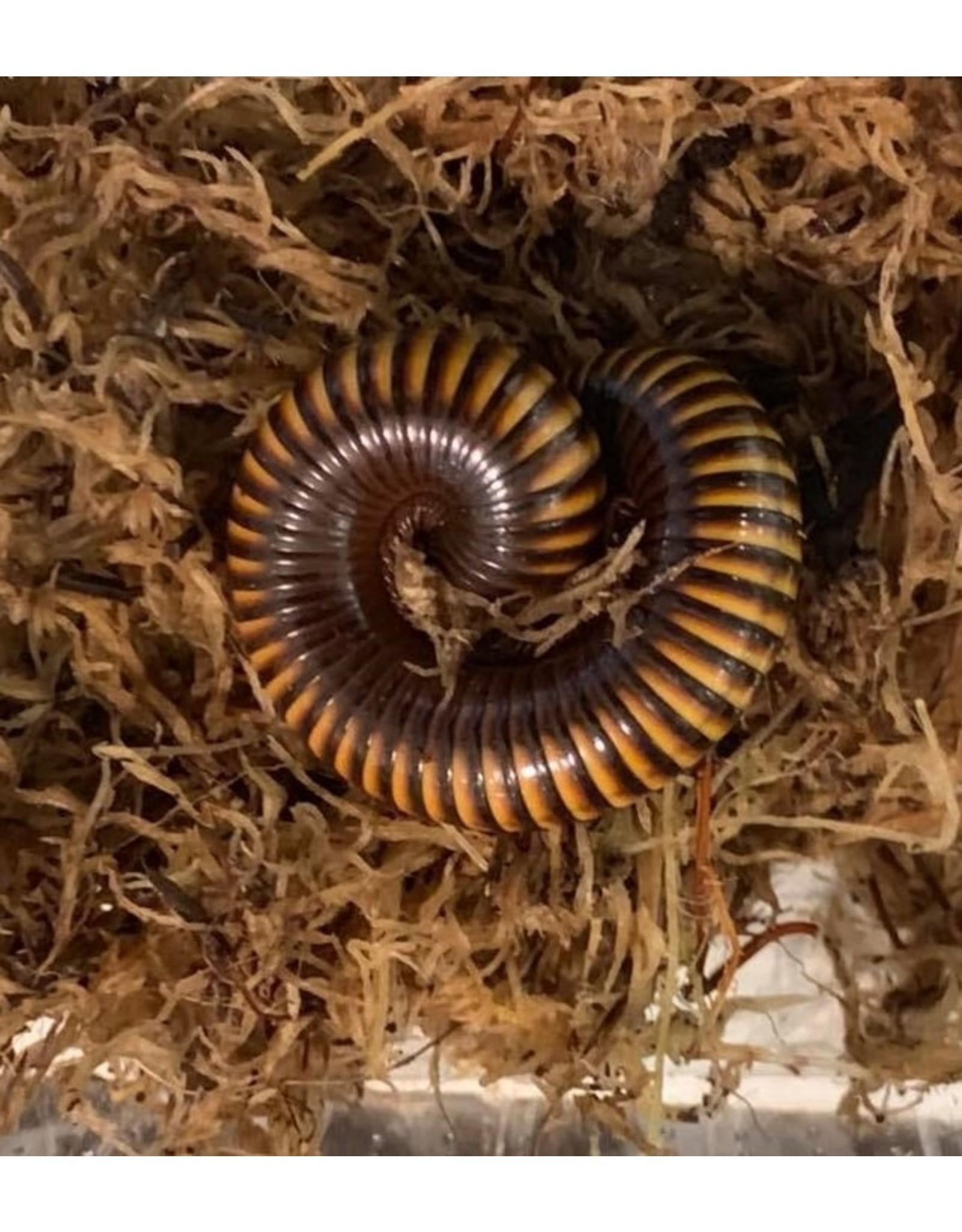 Angell Pets Ghana Speckled Millipede