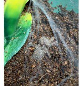 Angell Pets Togo Starburst (Heteroscodra maculata)