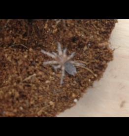 Angell Pets New Mexican Tarantula (Brachypelma kahlenbergeri)