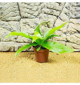 Pro Rep Live Plant: Asplenium antiquum (5cm pot)