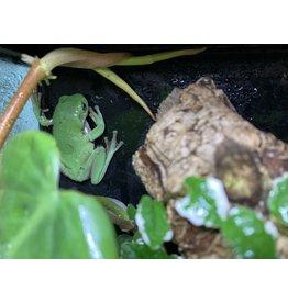 Angell Pets Whites Tree Frog - Low Snowflake (Litoria caerulea)