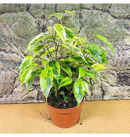 Pro Rep Live Plant: Weeping Fig (Ficus benjamina) Large