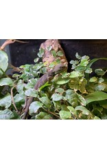 Angell Pets Chinese Water Dragon
