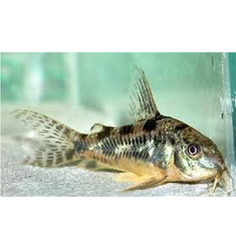 Angell Pets Peppered Corydora