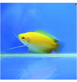 Angell Pets Golden Honey Gourami