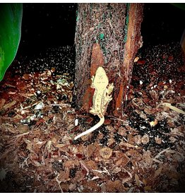 Angell Pets Crested Gecko - Harlequin