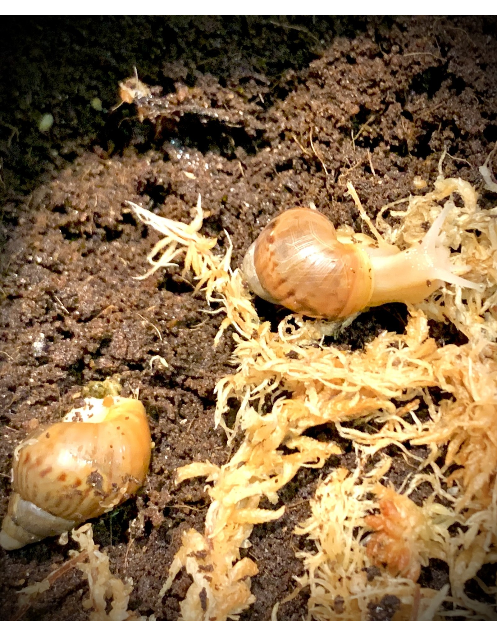 Angell Pets African Land Snail (Achatina fulica)
