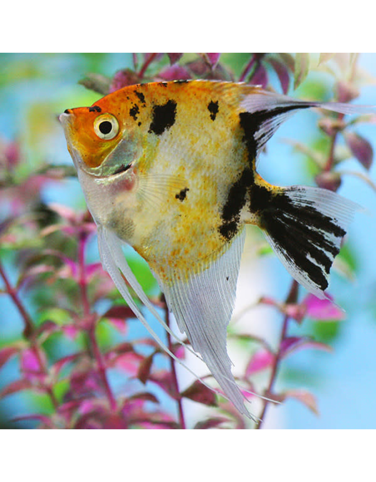 Angell Pets Golden Marble Angel Fish