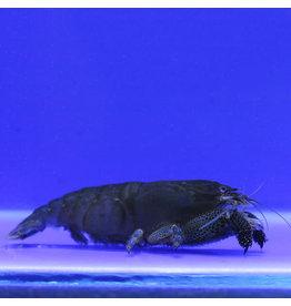 Angell Pets Armoured Shrimp