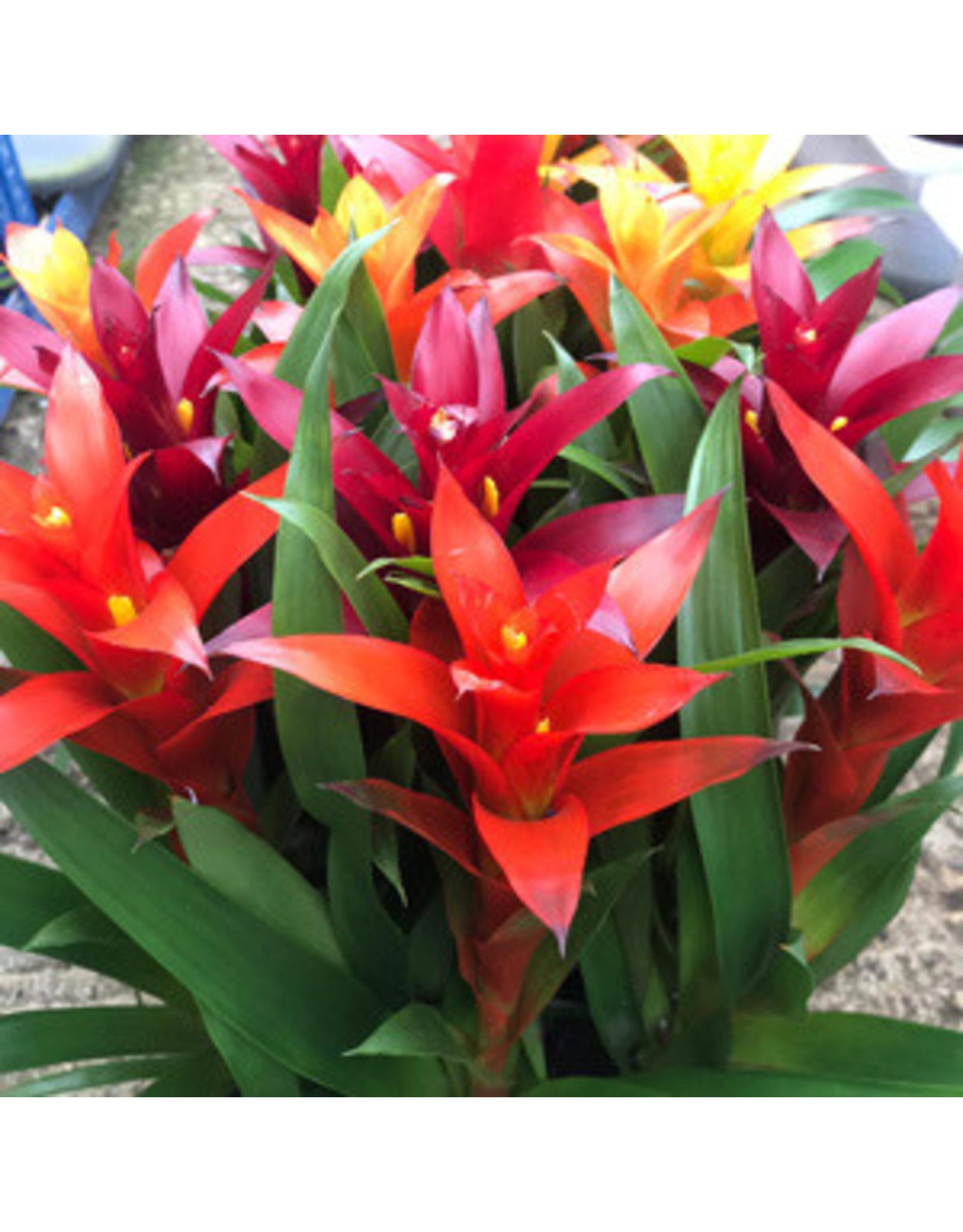 "Angell Pets Live Plant: Bromeliad ""Mixed Colours"" Medium"
