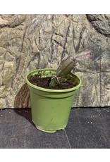 Angell Pets Live Plant: Schlumbergera truncata (false Christmas cactus)