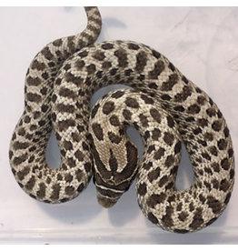 Angell Pets Axanthic Hognose Snake (Heterodon nasicus)