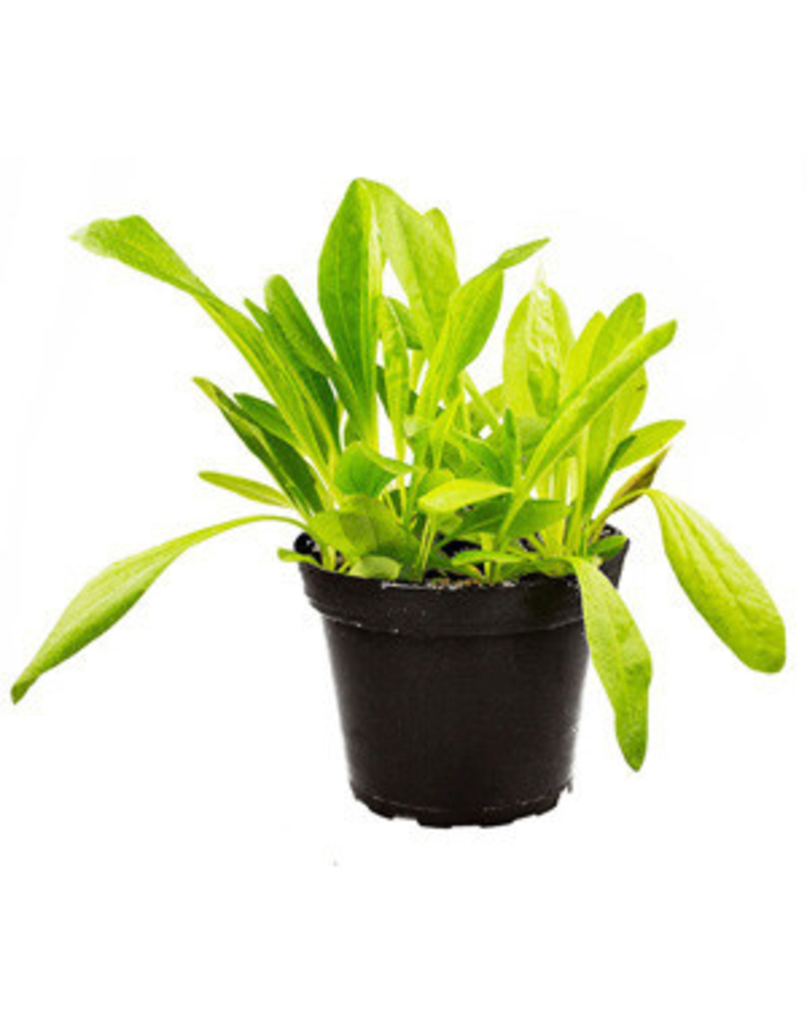 Pro Rep PR Live Food Plant: Plantain (Assorted) 10cm Pot