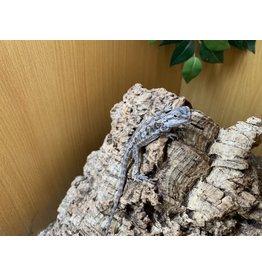Angell Pets Bearded Dragon
