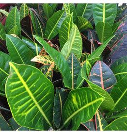 Angell Pets Live Plant: Garden Croton 'Nervia' (Codiaeum variegatum)