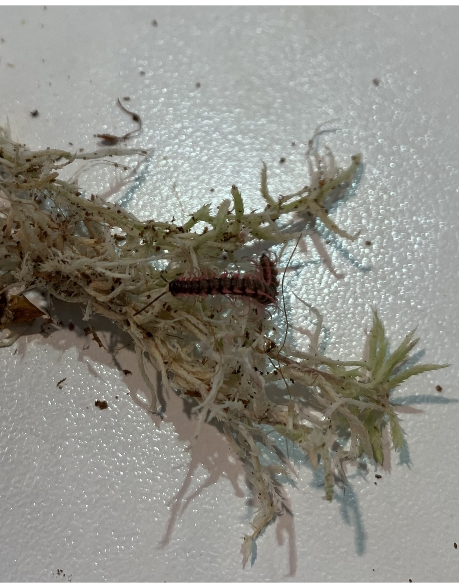 Angell Pets Pink Dragon Millipede