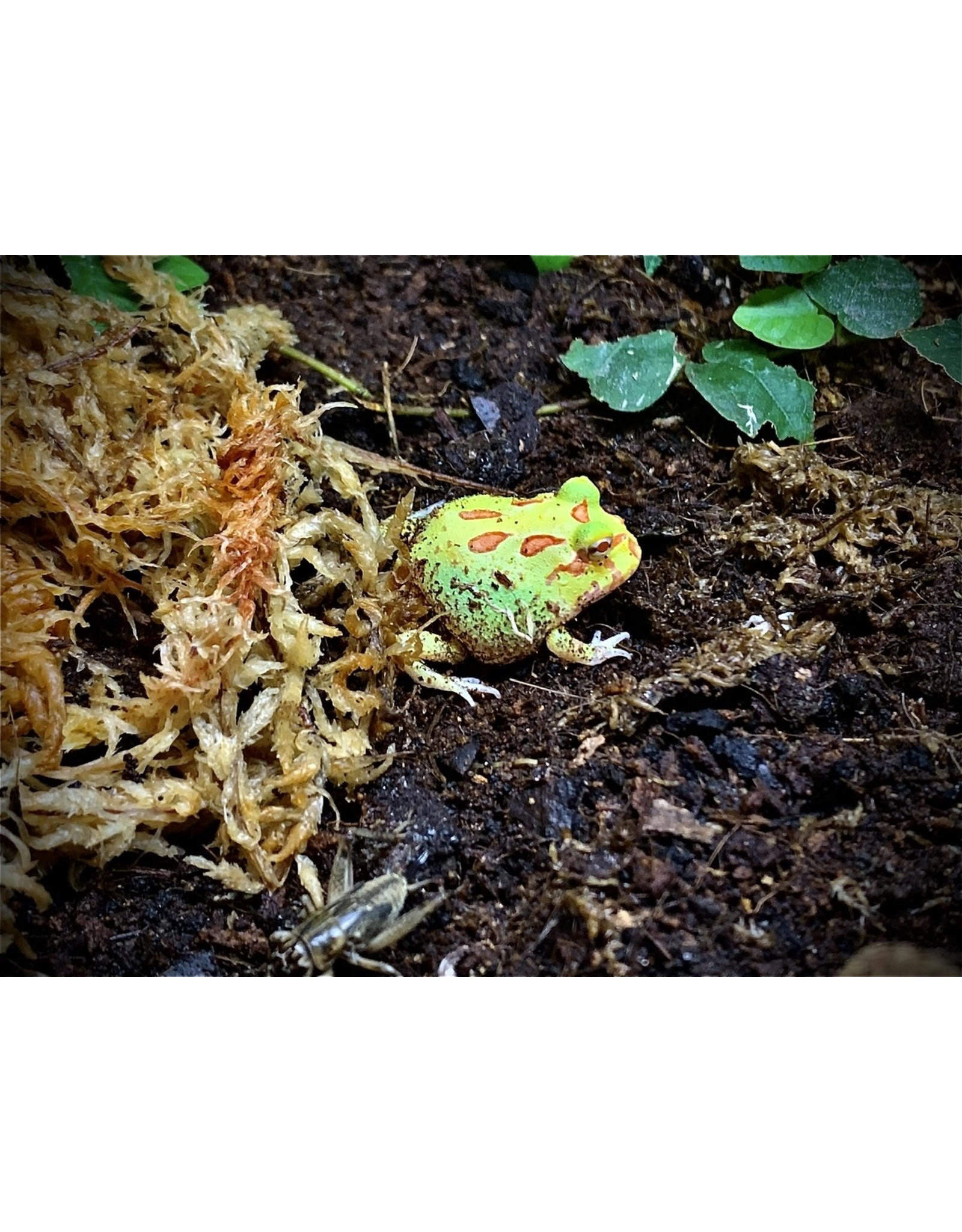 Angell Pets Albino Horned Frog (Ceratophrys cranwelli)