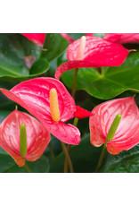 Angell Pets Live Plant: Flamingo Flower (Anthurium