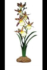 Komodo Komodo Spider Orchid 40cm