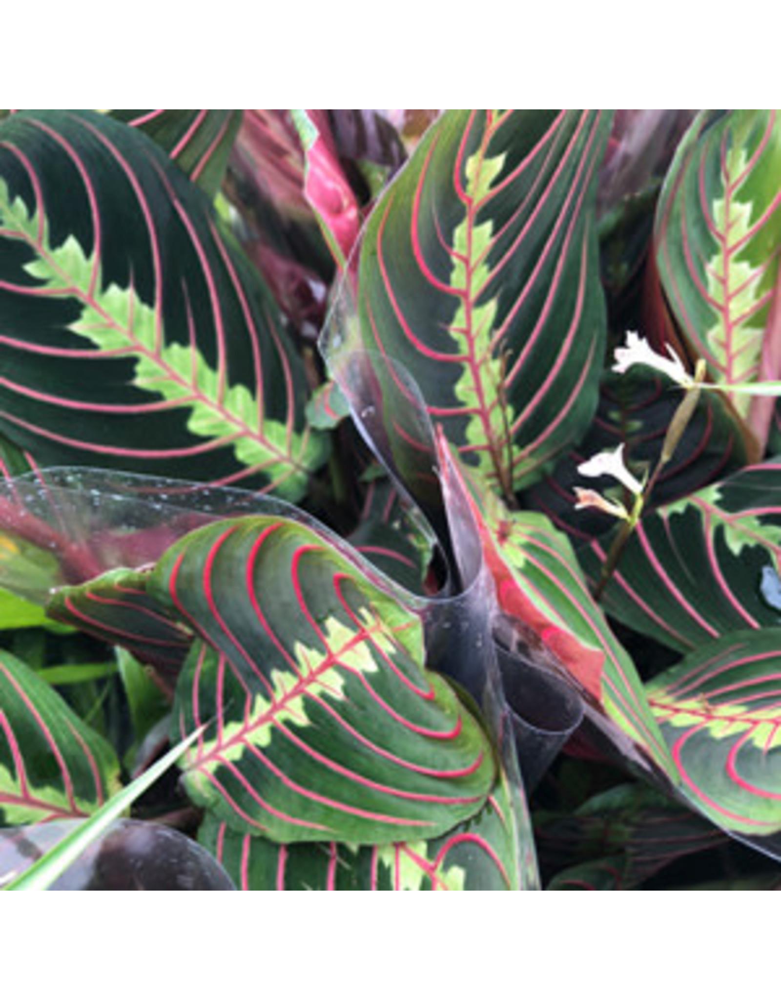 Pro Rep Live Plant: Maranta (12cm Pot)