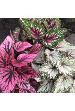 Angell Pets Live Plant: Begonia (Large)