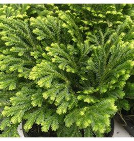 Angell Pets Live Plant: Meadow Spikemoss (Selaginella sp) (8.5cm Pot)