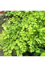 Angell Pets Live Plant: Maidenhair Fern (Large)  (Adianthum fragrans)