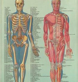 Cavallini Anatomy ANA2