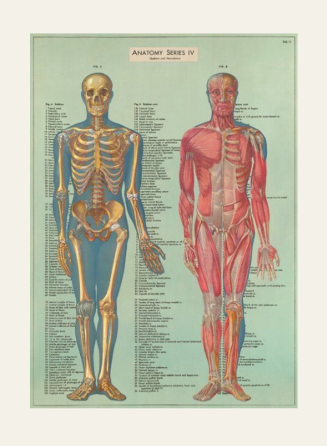 Cavallini Vintage Poster Anatomy Series IV
