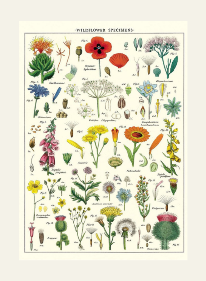 Cavallini Vintage Poster Wildflower Specimens