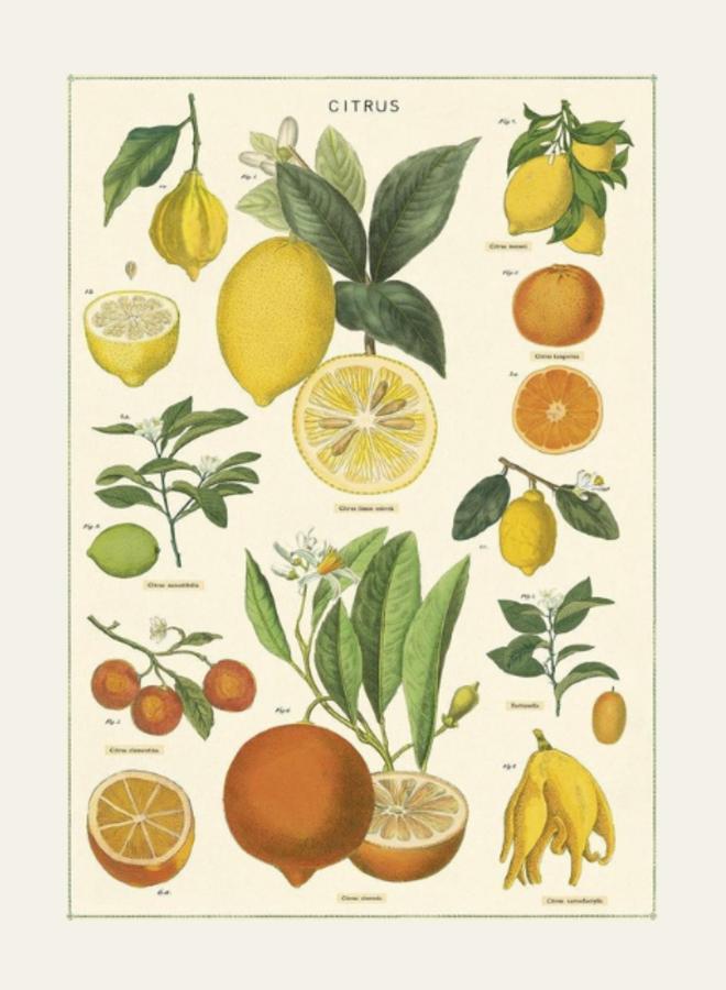 Cavallini Poster Citrus